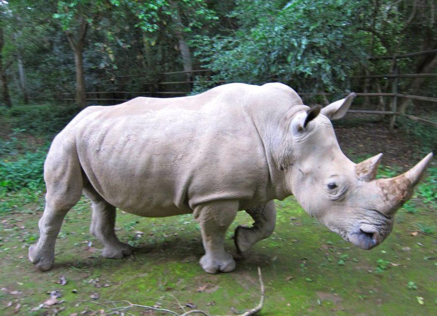 rinocerul în timpul sarcinii